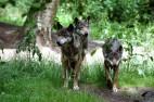 Wölfe im Wildpark Eekholt